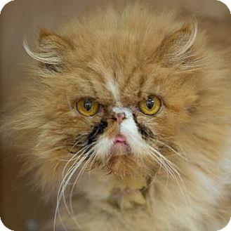 Persian Cat for adoption in Pt. Richmond, California - PEACHES