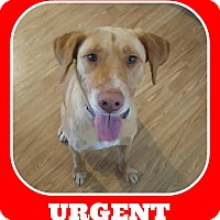 Adopt A Pet :: Charlie Girl - Austin, TX