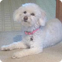 Adopt A Pet :: Lily lost her mom - Redondo Beach, CA