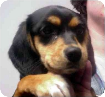 Beagle/Feist Mix Dog for adoption in Manassas, Virginia - Connie
