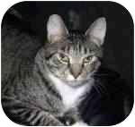 American Shorthair Cat for adoption in Lake Ronkonkoma, New York - Kit Kat