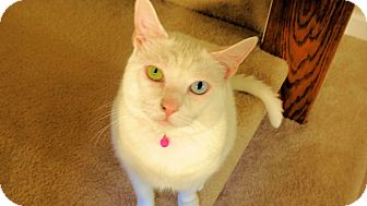 Domestic Shorthair Cat for adoption in Columbia, Maryland - COURTESY POST Lily