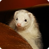 Adopt A Pet :: Hank, Bucky and Gidget - Chantilly, VA