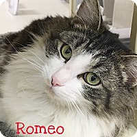Adopt A Pet :: Romeo - Foothill Ranch, CA