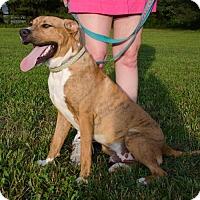 Adopt A Pet :: Tiger - Midlothian, VA