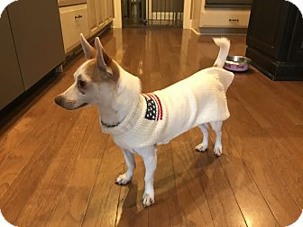 Chihuahua/Jack Russell Terrier Mix Dog for adoption in Gallatin, Tennessee - Toby