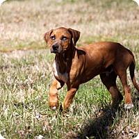 Adopt A Pet :: PUPPY ARCHER - richmond, VA
