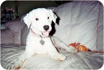 Poodle (Miniature) Dog for adoption in Melbourne, Florida - SARGE