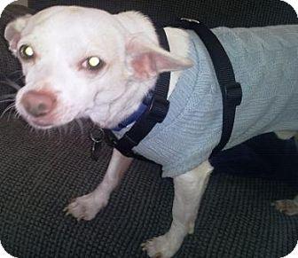 Chihuahua Mix Dog for adoption in Gilbert, Arizona - Taco