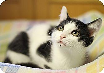 Domestic Shorthair Cat for adoption in Winston-Salem, North Carolina - Liam
