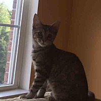 Domestic Shorthair Kitten for adoption in Gaithersburg, Maryland - Brienne
