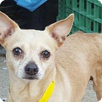 Adopt A Pet :: Mugsy - Studio City, CA