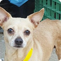 Chihuahua Dog for adoption in Studio City, California - Mugsy