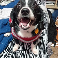 Beagle/Border Collie Mix Dog for adoption in Guelph, Ontario - Kingsley