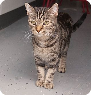 Domestic Shorthair Cat for adoption in Martinsville, Indiana - Suzy Q