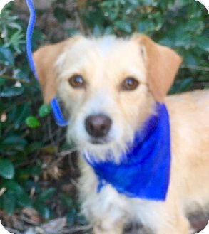 Terrier (Unknown Type, Small) Mix Puppy for adoption in pasadena, California - GUS