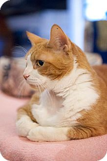 Domestic Shorthair Cat for adoption in Columbia, Maryland - Brice