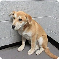 Adopt A Pet :: Chloe Sweet Baby Lab Mix - Staten Island, NY