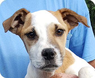 Labrador Retriever/Hound (Unknown Type) Mix Puppy for adoption in Colonial Heights, Virginia - Sugar