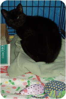 Domestic Shorthair Cat for adoption in Westfield, Massachusetts - Magic