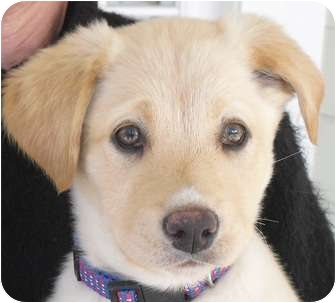 Labrador Retriever Mix Puppy for adoption in Kingwood, Texas - Hope