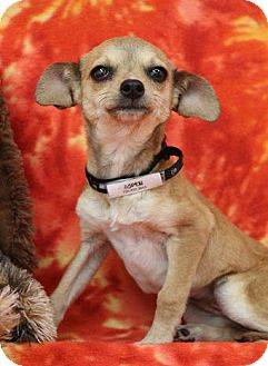 Chihuahua/Dachshund Mix Puppy for adoption in Broomfield, Colorado - Aspen