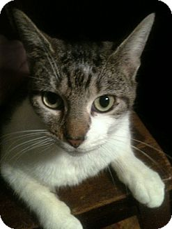 Domestic Shorthair Cat for adoption in Brooklyn, New York - Roxy