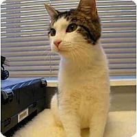 Adopt A Pet :: Nubs - Modesto, CA