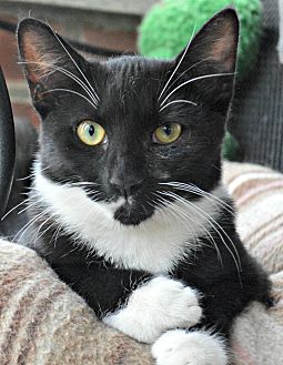 Domestic Shorthair Cat for adoption in Bronx, New York - Nicole