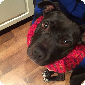 Pit Bull Terrier Mix Dog for adoption in New York, New York - Princess Sue