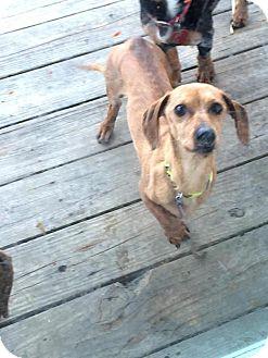 Dachshund Mix Dog for adoption in Lincoln, Nebraska - Rudy