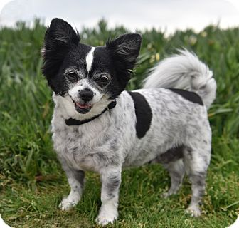 Papillon/Chihuahua Mix Dog for adoption in San Diego, California - Pixie