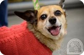 Chihuahua Mix Dog for adoption in Salt Lake City, Utah - Tessa