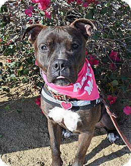 Bulldog/American Pit Bull Terrier Mix Dog for adoption in Sherman Oaks, California - Kira