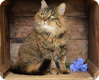 Domestic Longhair Cat for adoption in Germantown, Maryland - Fiona