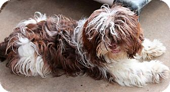 Shih Tzu Dog for adoption in Memphis, Tennessee - Yogi