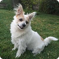 Adopt A Pet :: Simon - Gardena, CA