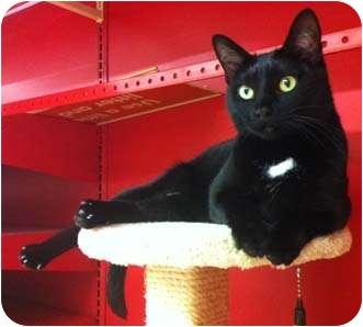 Domestic Shorthair Cat for adoption in Merrifield, Virginia - Abigail