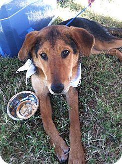 German Shepherd Dog/Collie Mix Puppy for adoption in Pocahontas, Arkansas - Blaine