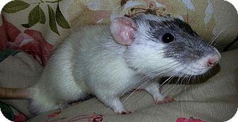 Rat for adoption in Lakewood, Washington - Ace