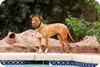 Staffordshire Bull Terrier/Labrador Retriever Mix Dog for adoption in Phoenix, Arizona - DOLLY