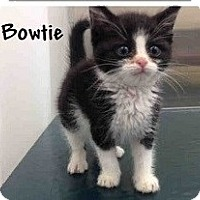 Adopt A Pet :: Bowtie - Mobile, AL