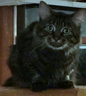 Maine Coon Cat for adoption in Palatine, Illinois - Gio