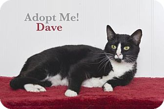 Domestic Shorthair Cat for adoption in West Des Moines, Iowa - Dave