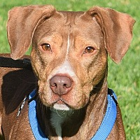 American Staffordshire Terrier/Beagle Mix Dog for adoption in Huntley, Illinois - Bailey
