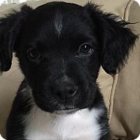 Adopt A Pet :: Preston - Allentown, PA