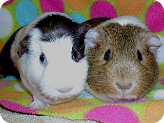 Guinea Pig for adoption in Steger, Illinois - Juniper