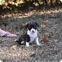 Adopt A Pet :: Duchess - Groton, MA