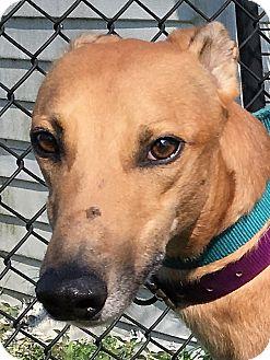 Greyhound Dog for adoption in Longwood, Florida - Slatex Expert