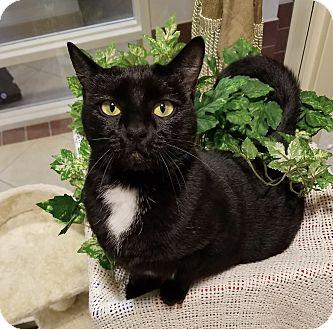 Domestic Shorthair Cat for adoption in Hendersonville, North Carolina - Giselle